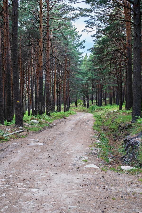 A path in the pine forest. A lonely path in the pine forest stock photography