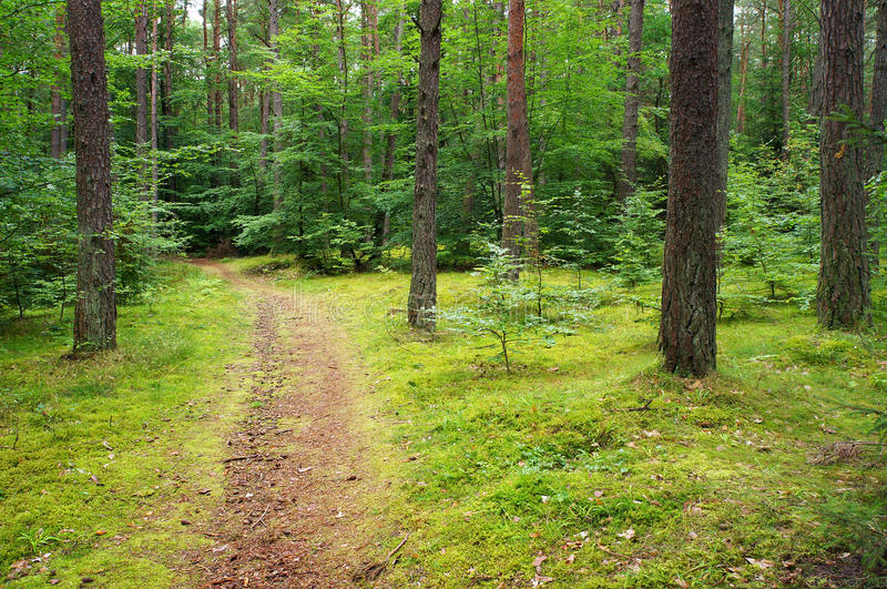 Path in pine forest. Path in mixed pine and deciduous forest royalty free stock image