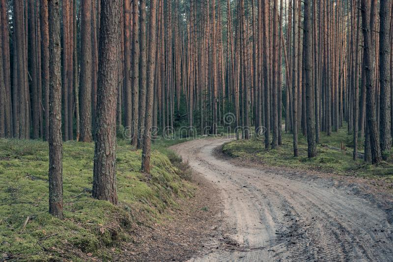 Pine forest in the early morning. The path in the pine forest in the morning royalty free stock photography