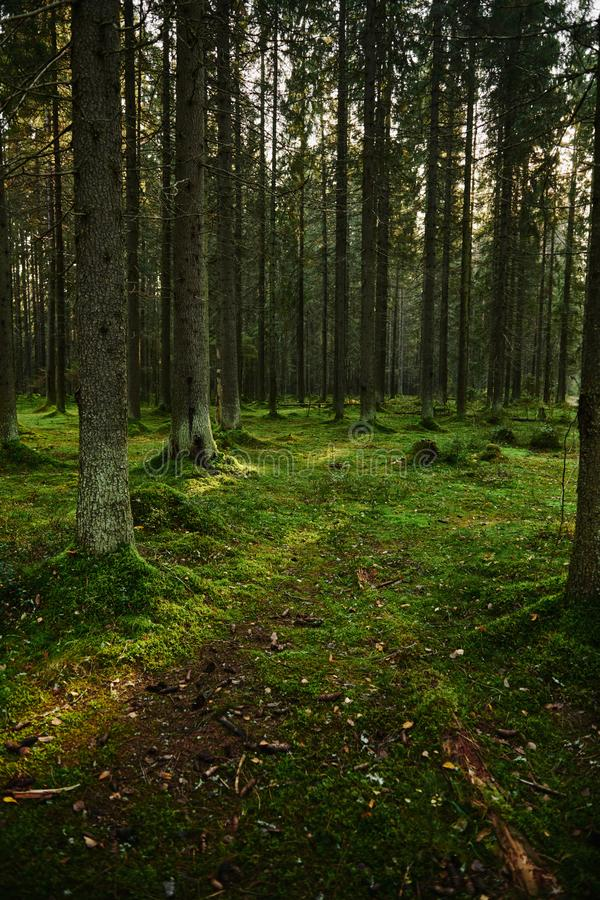 Path through a pine forest. Mossy Path through a autumn pine forest royalty free stock photo