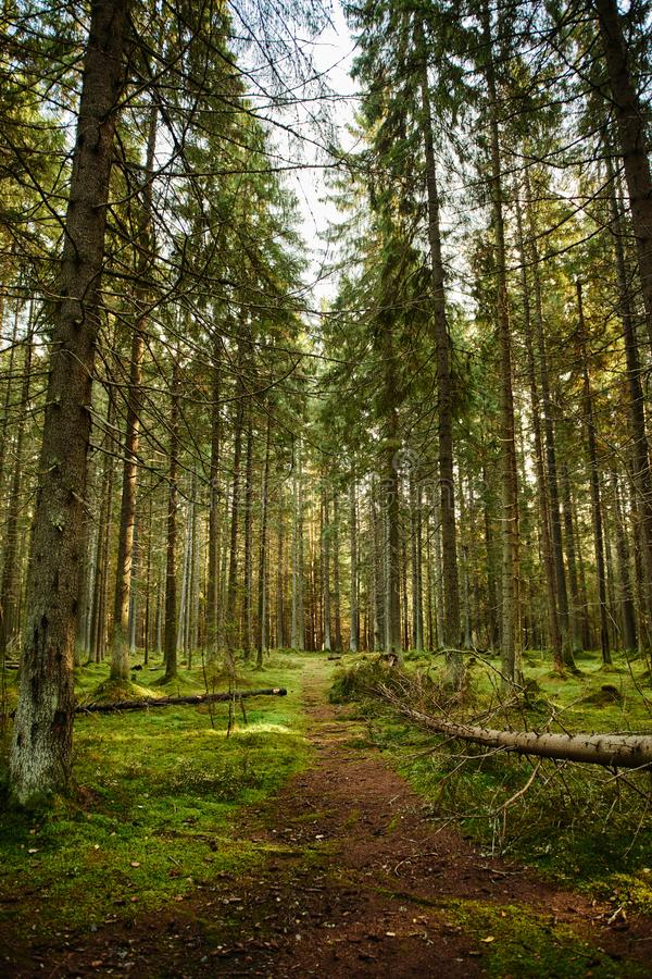 Path through a pine forest. Mossy Path through a autumn pine forest stock photography