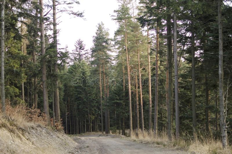 Path in a pine forest. On the mountain slopes stock photography