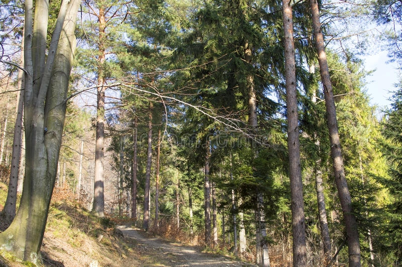 Path in a pine forest. On the mountain slopes royalty free stock image
