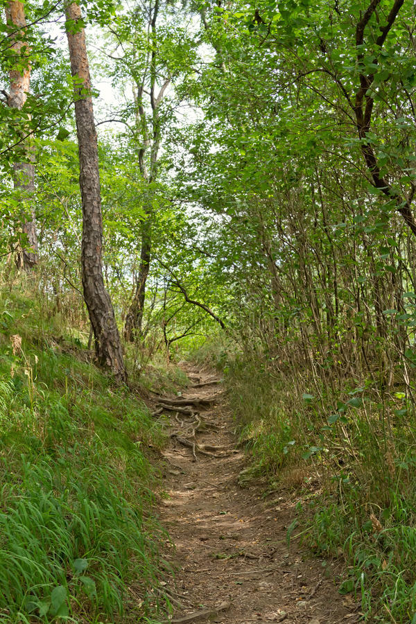 The path in the pine forest. A narrow path in the pine forest takes you through the roots of trees stock images