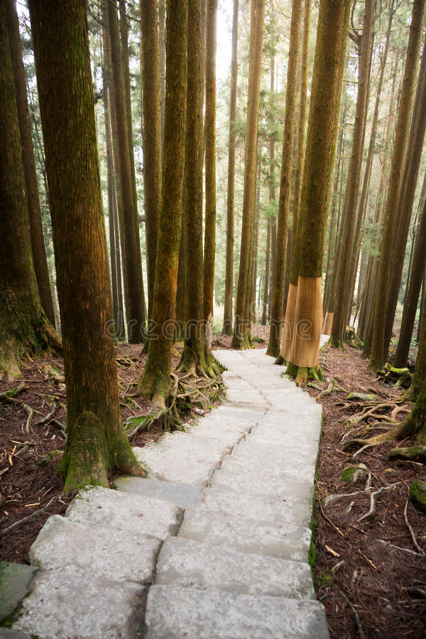 Path in pine forest. Pave stone path in pine forest royalty free stock photo