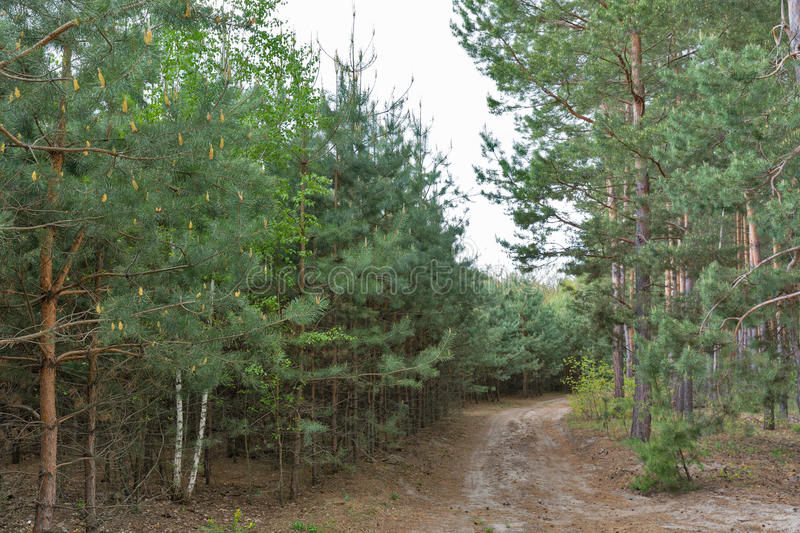 Path in the pine forest. Road in the young pine forest royalty free stock images