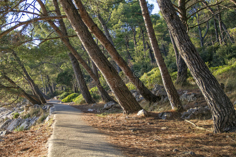Losinj - The path in a pine forest. The path in a pine forest by the sea on island Losinj, Croatia, Europe royalty free stock photos