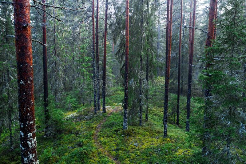 Path in a pine forest. A small path in a wild pine forest in Estonia royalty free stock photo