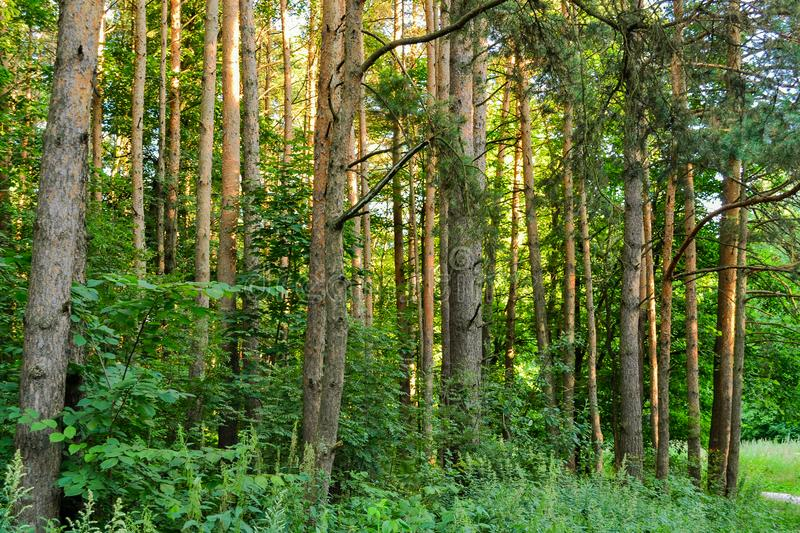 A path in a pine forest. Sunlight between the trees. Summer. Russia. A path in a pine forest. Sunlight between the trees. Summer. Russia stock photo