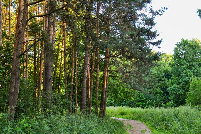 A path in a pine forest. Sunlight between the trees. Summer. Russia.  stock image