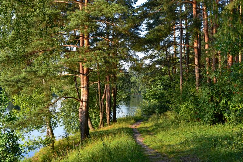 A path in a pine forest. Sunlight between the trees. Summer. Russia.  stock photos