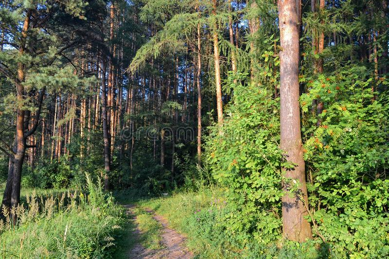 A path in a pine forest. Sunlight between the trees. Summer. Russia.  stock photo