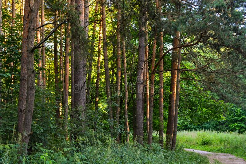 A path in a pine forest. Sunlight between the trees. Summer. Russia. A path in a pine forest. Sunlight between the trees. Summer. Russia royalty free stock images