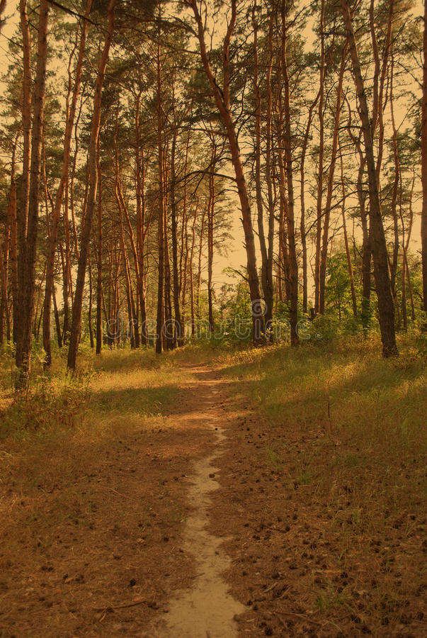 Path through a pine forest. Path through a sunlit pine forest (vintage style stock image
