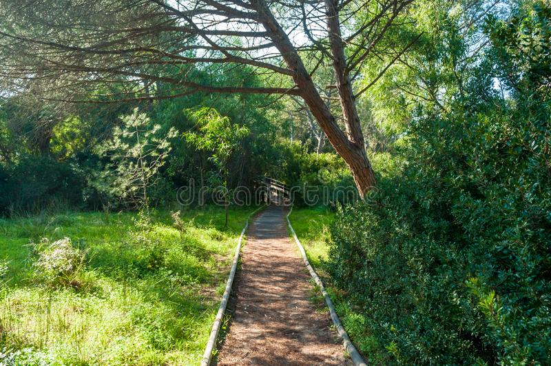 Path in pine forest. In a sunny morning of spring, green, nature, wood, scene, tree, environment, natural, park, sunlight, plant, trees, scenic royalty free stock images