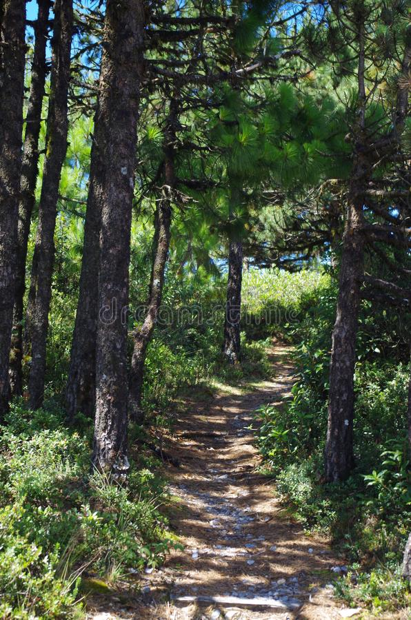 Path in the pine forest. There is a great variety of trees in the high mountains of Oaxaca. Pine trees are a common species. A path opens up in the mountain stock images