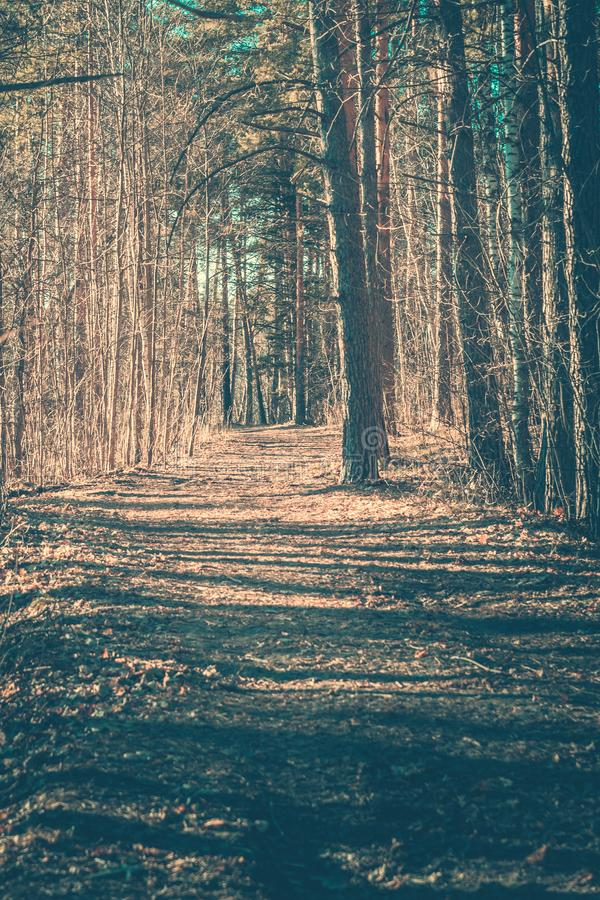 Forest Landscape. Path in a pine forest, vertical. Forest Landscape royalty free stock image