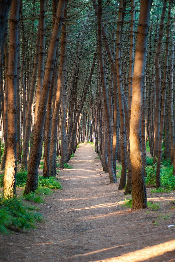 The path in the pine forest. Which divides it from side to side stock photo