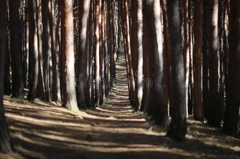 Path in a pine Park. The sun breaks through the trees royalty free stock photography