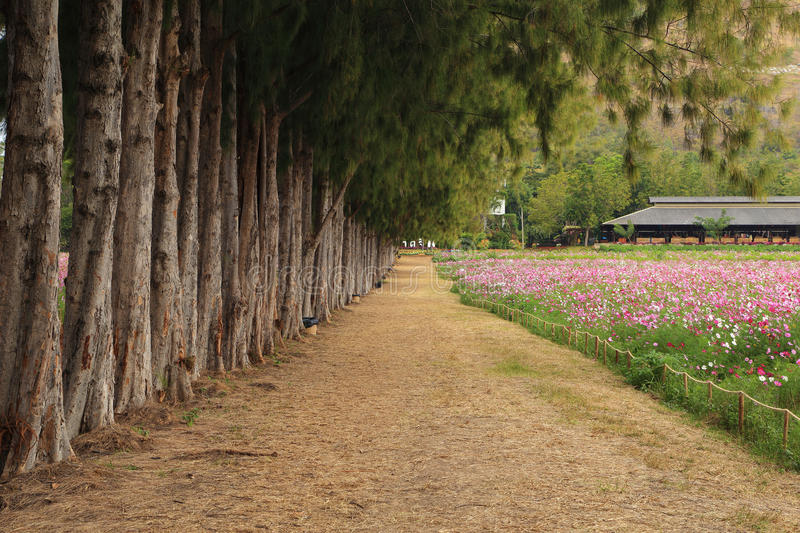 Path between pine trees and cosmos flower field. Gravel path between pine trees and cosmos flower field royalty free stock images