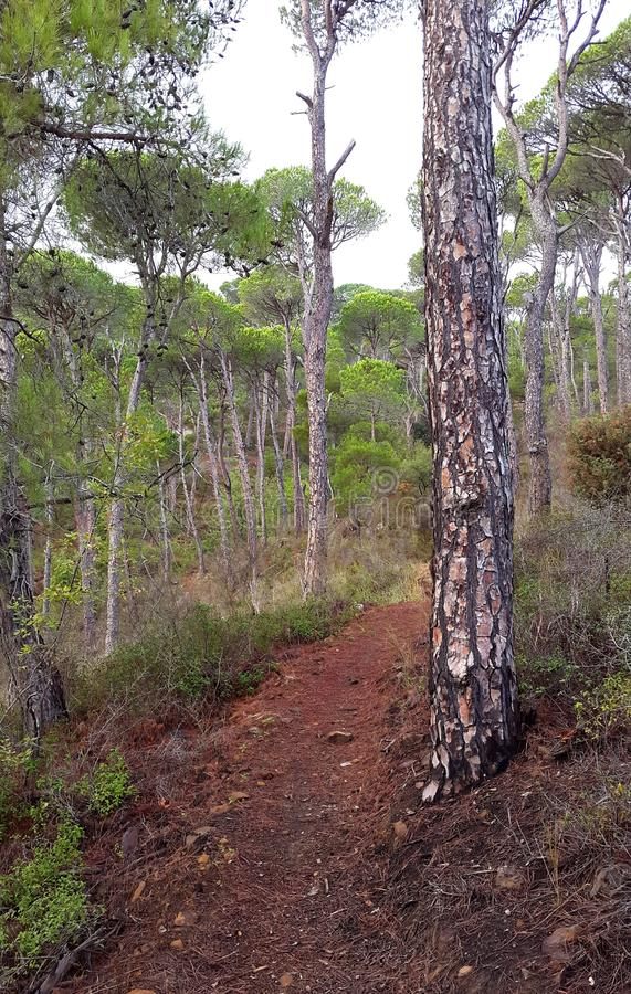 Path with pine trees. A footpath through an old pine tree forest stock photos
