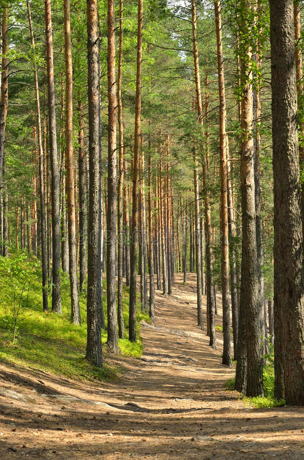 Path through pine trees. In forest near Saint Petersburg, Russia stock photography