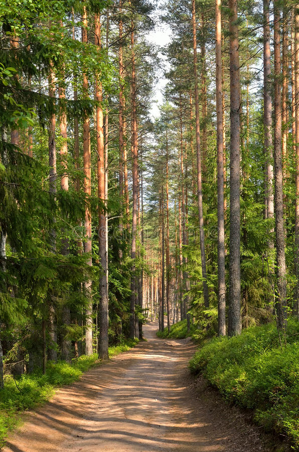 Path through pine trees in forest. Near Saint Petersburg, Russia stock photos