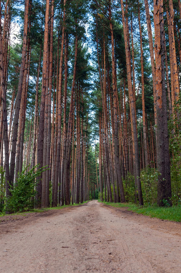 Path through pine-trees low point of view. In summer day royalty free stock photos