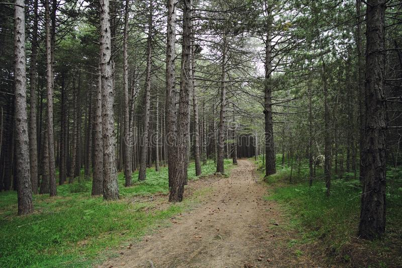 Path In A Pinewood stock photos
