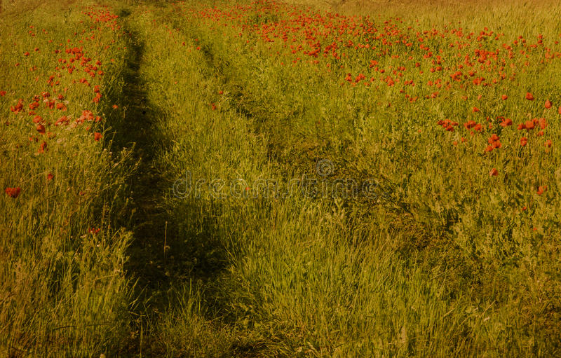 Path in poppy field royalty free stock photography
