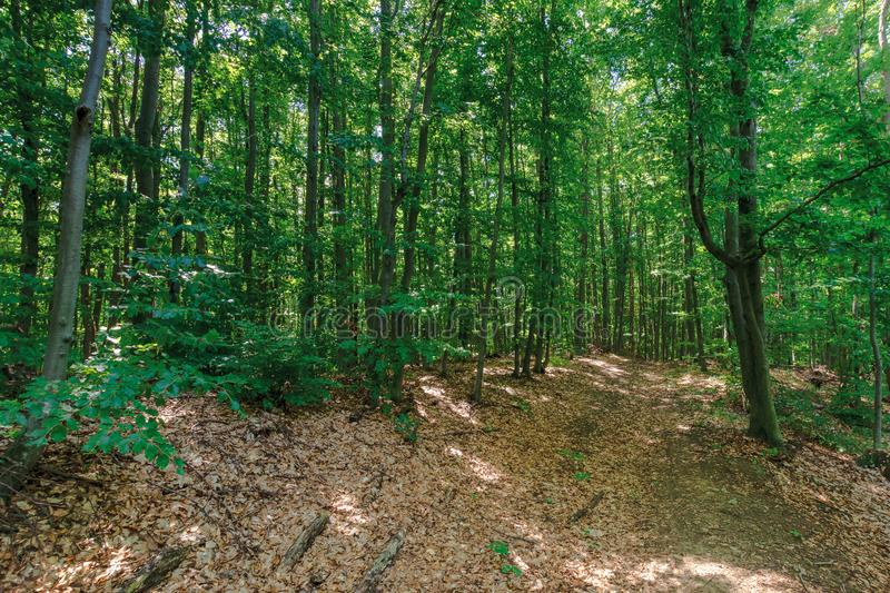 Path through primeval beech forest royalty free stock photos