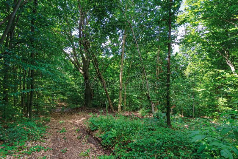 Path through primeval beech forest royalty free stock image