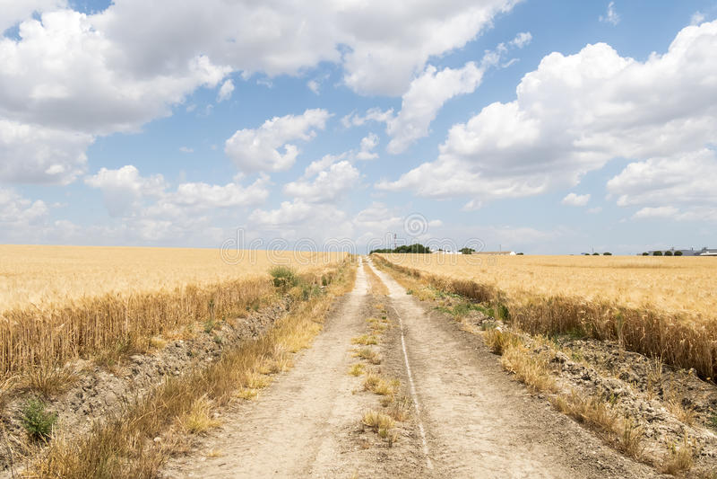 Path through ripe wheat field royalty free stock photo