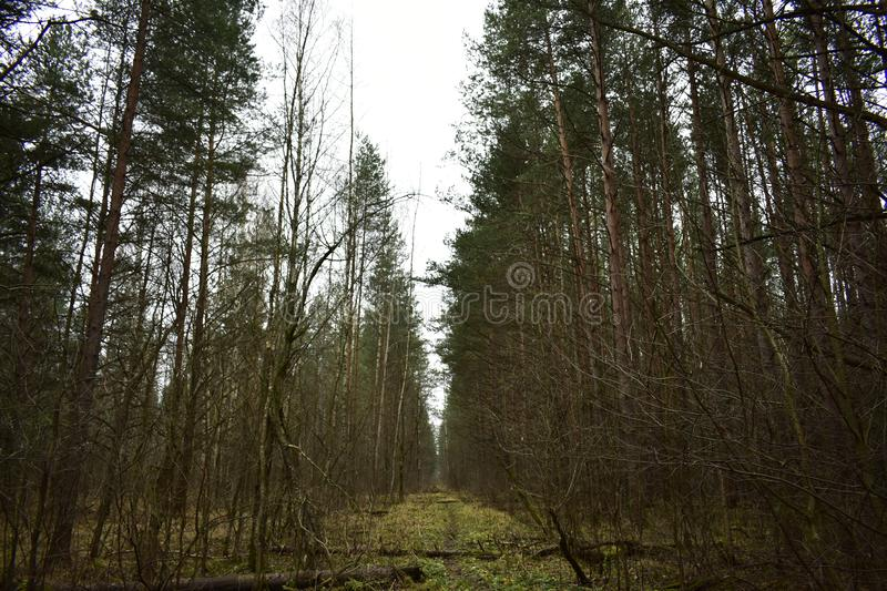 Path road path green grass moss birch pine forest branches bent. The clearing is littered with logs going into. The distance royalty free stock image