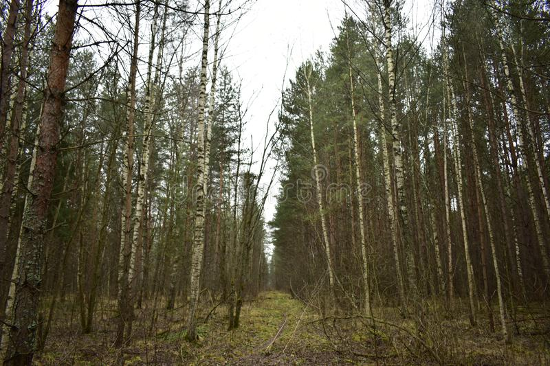 Path road path green grass birch pine forest. Glade stretching into. The distance royalty free stock photos