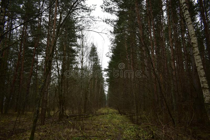 Path road path green grass moss birch pine forest. Glade stretching into. The distance stock photos