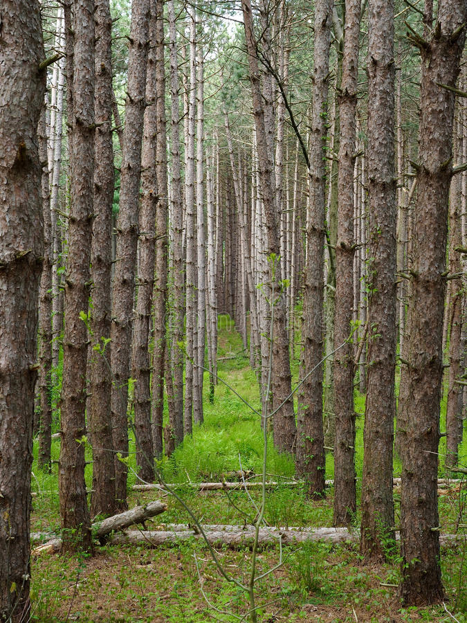Path Through Row of Skinny Trees. A thick forest of skinny pine trees stock photos