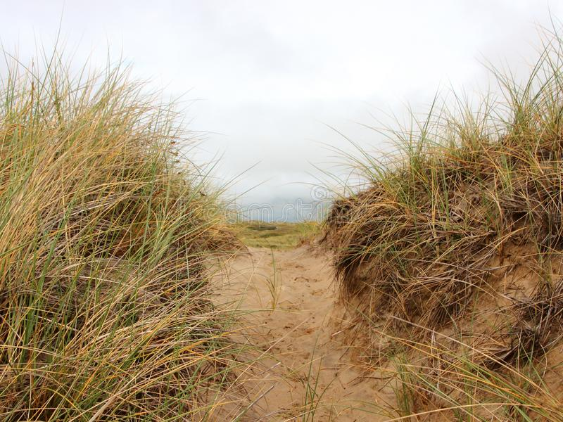 Path through Sand Dune with Wild Rye. And Beachgrass in Denmark royalty free stock photo