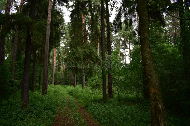 The path in the shade of dense pine spruce forest. The forest is one of the most popular holiday destinations for millions of people royalty free stock photography