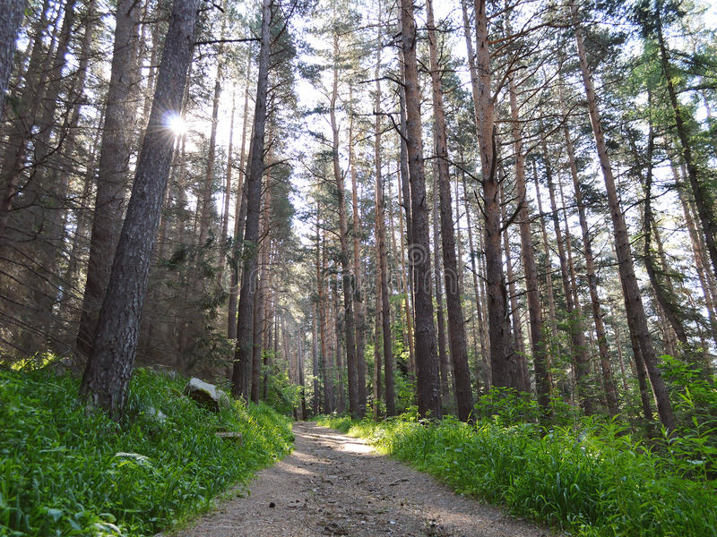 Path in a shady pine forest. Sunbeam squeezes through the tall trees royalty free stock photo