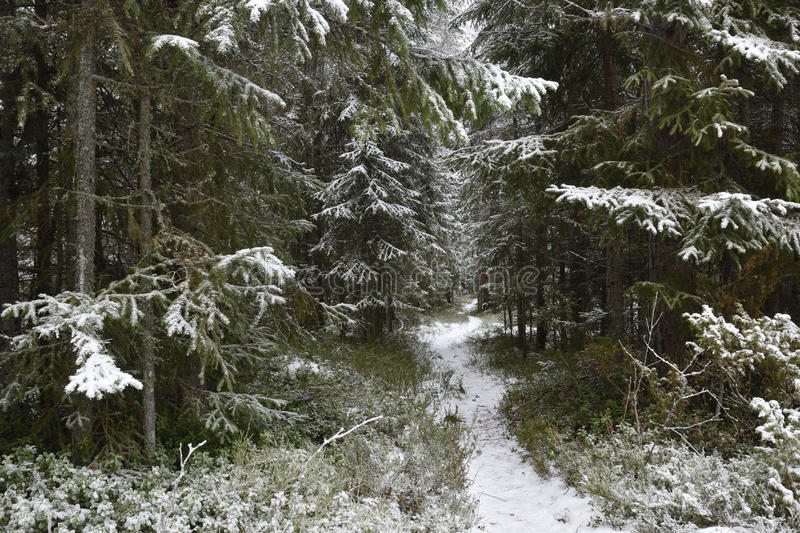 Path with snow in a forest. With Pine and Fir, picture from the North of Sweden stock image