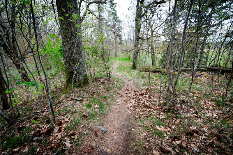 The path through the spring forest goes around the pine tree. The path through the spring forest around the pine tree stock photos