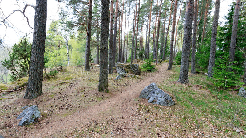 The path through the spring forest goes around the pine tree. The path through the spring forest around the pine tree stock photo