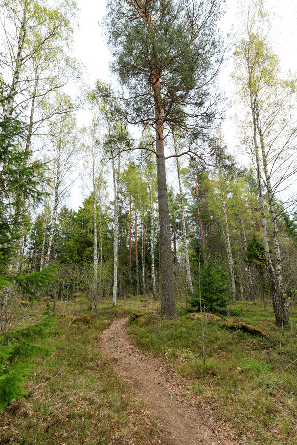 The path through the spring forest goes around the pine tree. The path through the spring forest around the pine tree stock photography