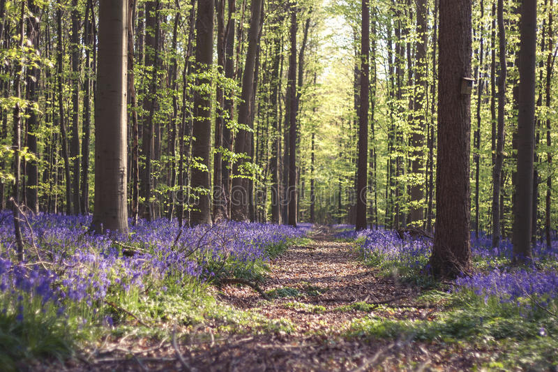 Path in a springtime forest. With bluebells royalty free stock photography