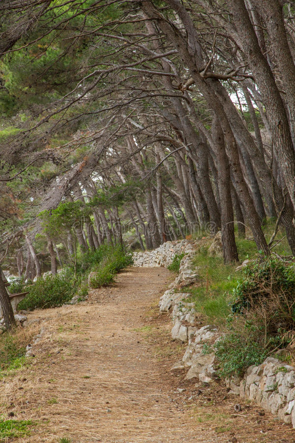 Path between stone walls and pine trees. Typical of the coast of Croatia. Taken in Božava, Dugi otot royalty free stock photo