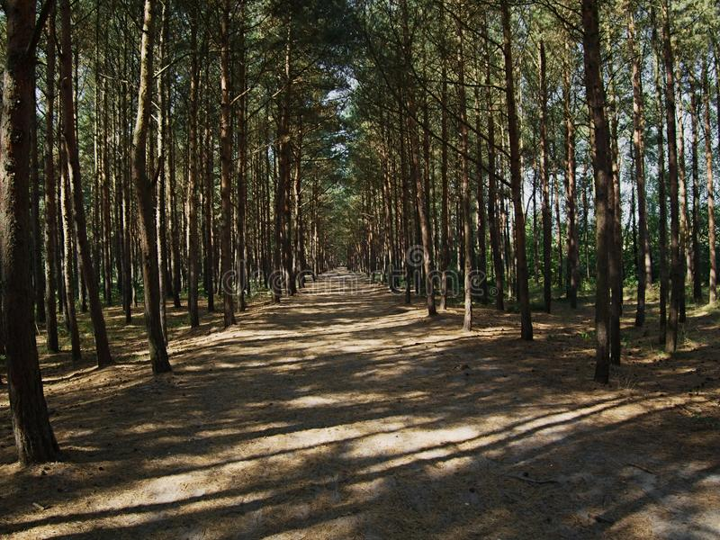 The path through the sunlit pine forest on the Baltic coast. Pine grove in the sandy soil of the Baltic shore. Perspective narrowing path. Oblique parallel stock photography