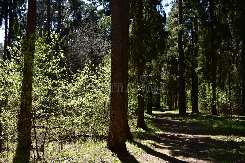 Path a path through a Sunny pine forest of pines and firs. A winding path between the trees leads deep into the forest royalty free stock photos