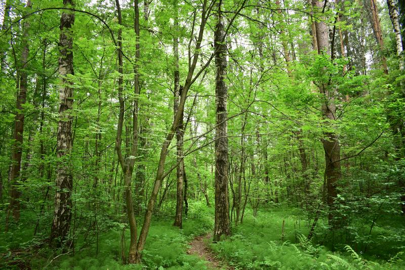 The path in the thick of the forest trees are decorated with foliage royalty free stock images