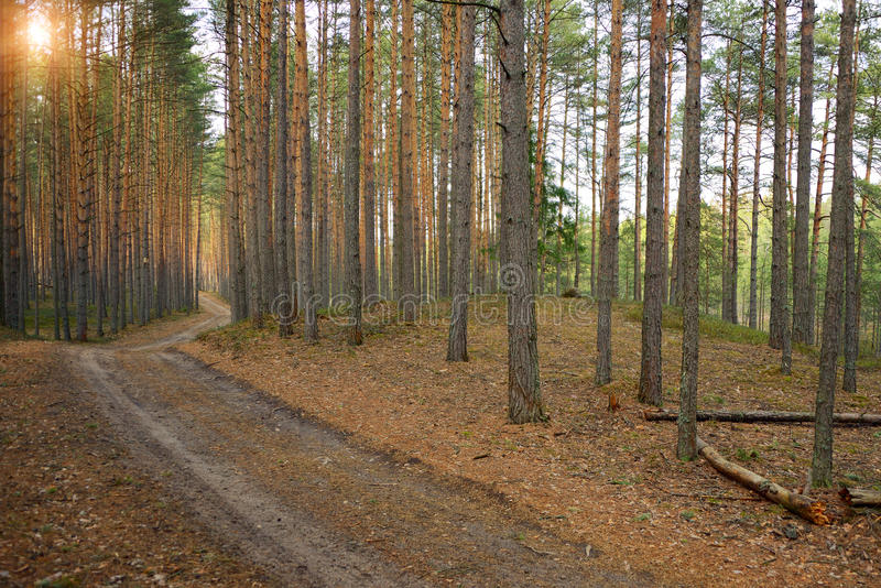 Path. To the pine forest royalty free stock photos